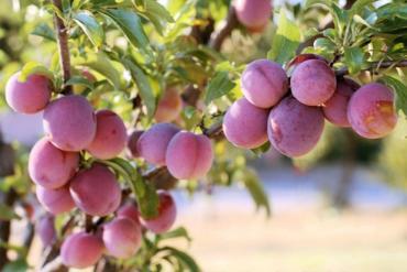 Good medicine from Northern plum tree